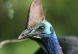 Cassowary Close-up