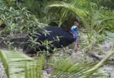 Adult Cassowary