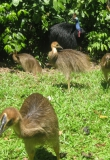 Cassowary male with young